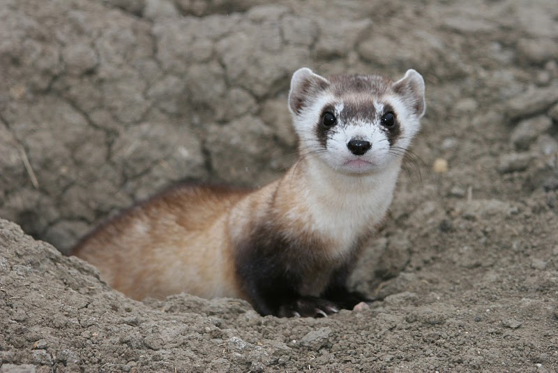 black footed ferret emerging from burrow