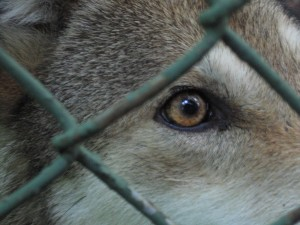 captive red wolf looking through fence