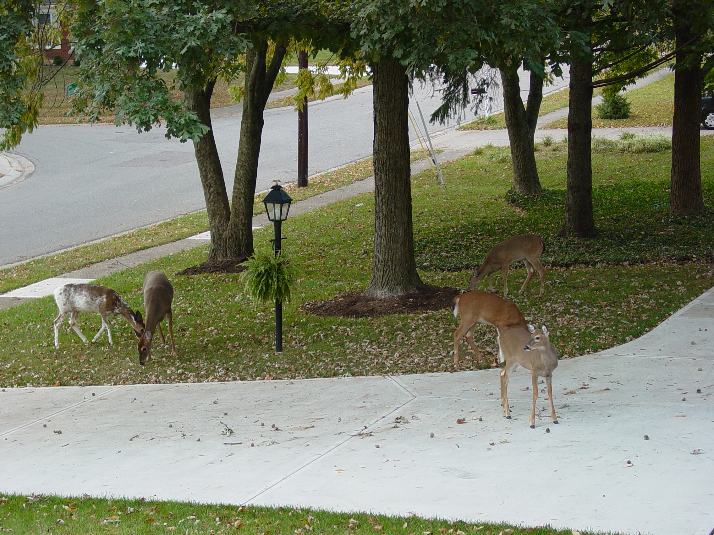 White-tailed deer - note the piebald deer on the far left side.