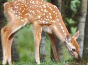 Fawn, blog post Orphaned Wildlife.