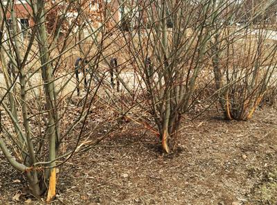 Rabbit damage to tree