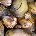 Heart of the Tippy – Healthy Mussels, Healthy River