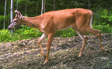 White-Tailed Deer Warts