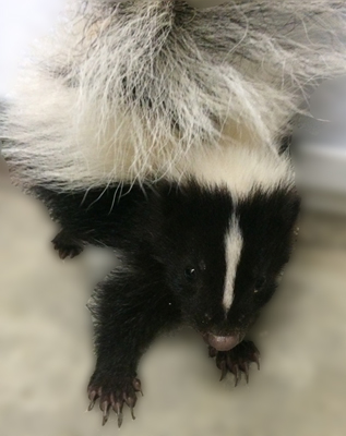 Skunk, Boiler Up! For Wildlife: What dug up my yard podcast