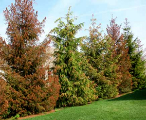 Foliar Discoloration in Pine Trees