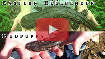 Hellbender and Mudpuppy Video