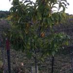 Juvenile American Chestnut