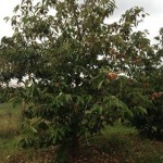 10 year old American chestnut tree