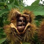 American chestnut fruit (nuts) inside an opened bur
