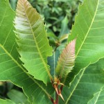 Immature American chestnut leaves