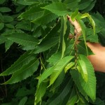 Mature American chestnut leaves