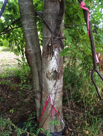 12 year old resistant 15/16 American chestnut after direct challenge with (Cryphonectria parasitica) fungus.
