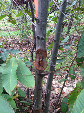 Chestnut blight canker four months after inoculating a susceptible chestnut tree.