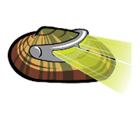 Duke the Rayed Bean Mussel