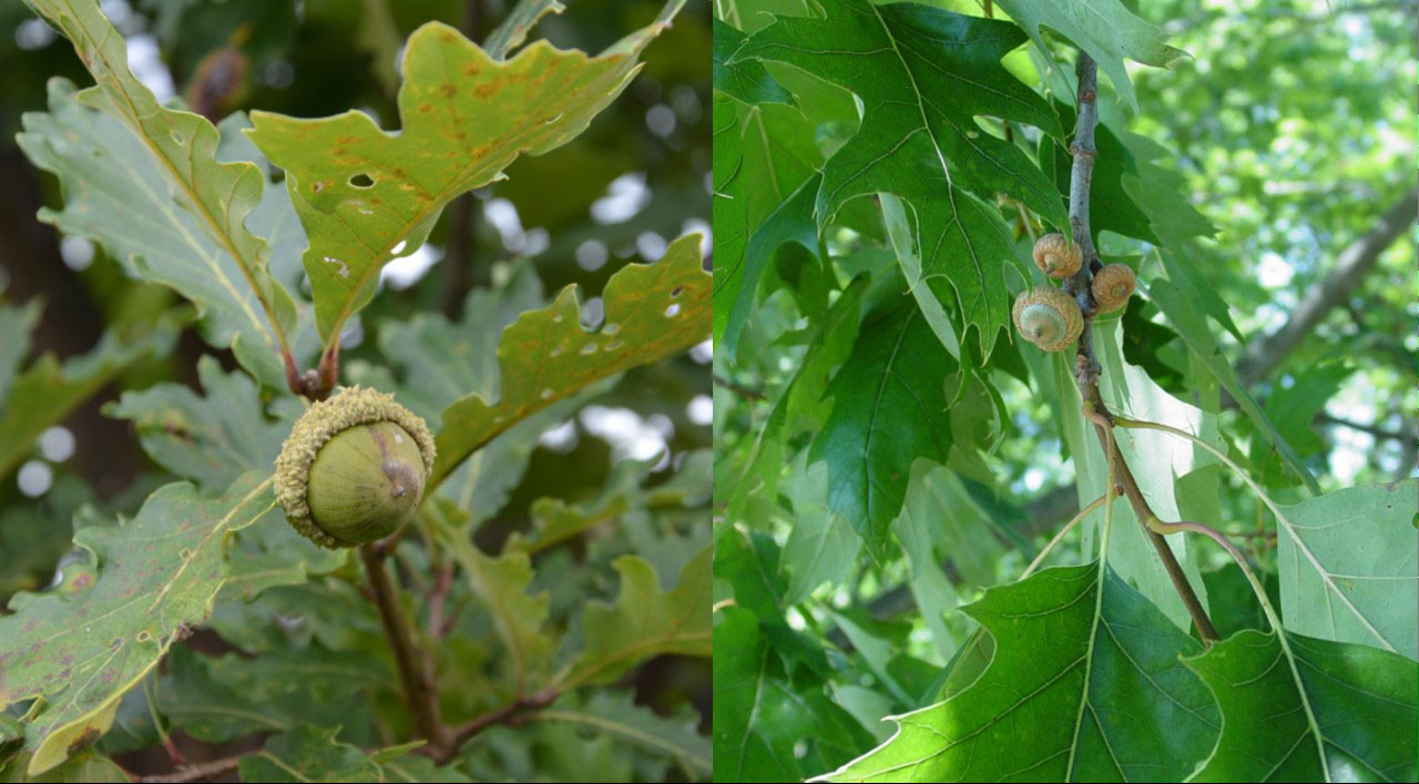 Scout Your Oak Trees To Identify The Best Mast Producers Purdue
