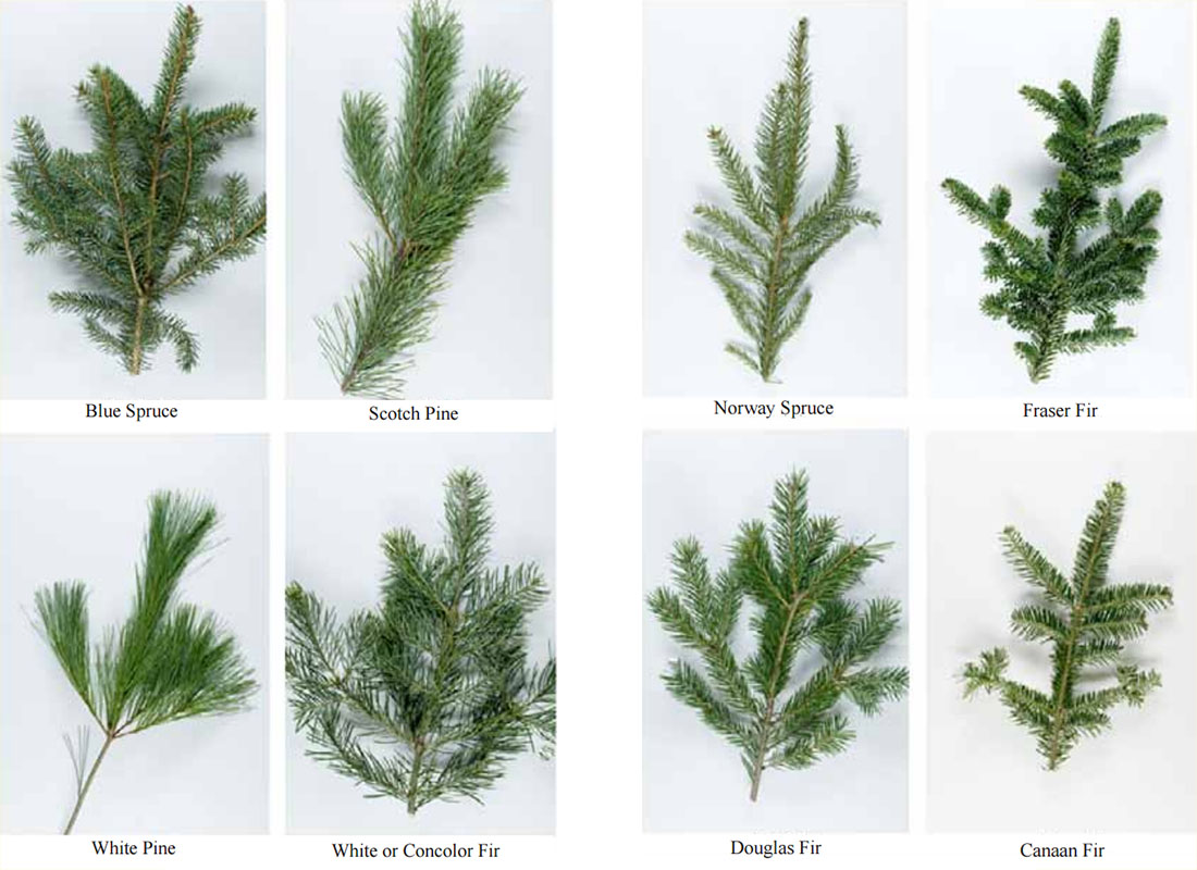 so you are off to select a real christmas tree this year the tree characteristics that influence a familys decision on what species to select can vary - Type Of Christmas Trees