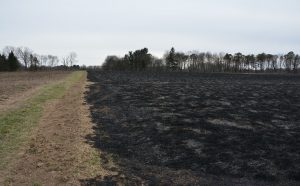 After fireburn to restore grasslands.