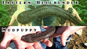 Hellbender vs. mudpuppy