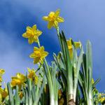 Daffodils, pixaby.com
