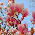 Magnolia tree.