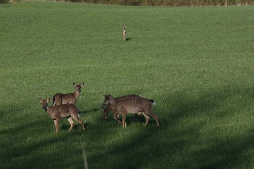 Deer in Open Field