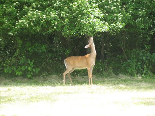 Deer eating on tree.