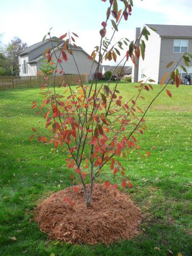Tree Planted in Backyard
