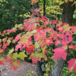 Red maple tree, fall red leaves. Photo by: Lenny Farlee
