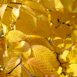 Hop hornbeam tree with yellow fall leaves. Photo by: Lenny Farlee