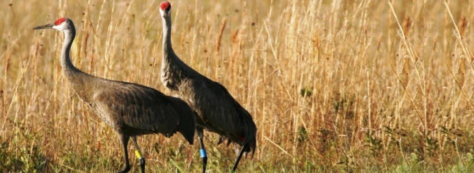 Sandhill Cranes in Wild