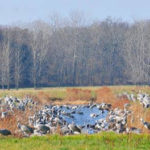 Sandhill Cranes stopped at Jasper-Pulaski Fish and Wildlife Area during fall migration. Photo: Indiana DNR