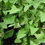 Invasive's leaves (figure 2)