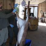 Deer scale