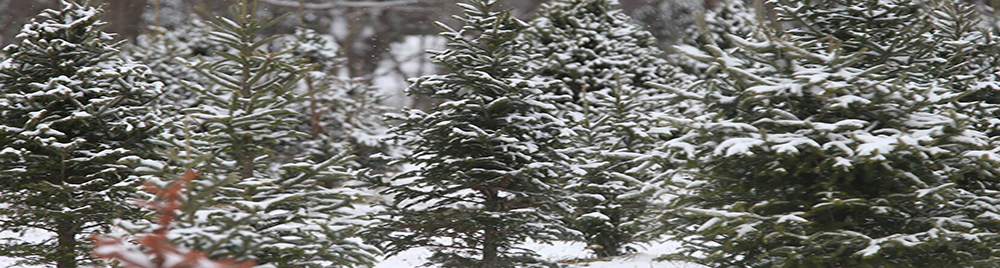Christmas trees with snow.