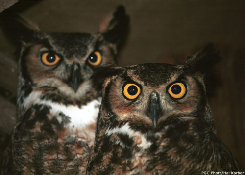 Great horned owls (photo by Pennsylvania Game Commission)