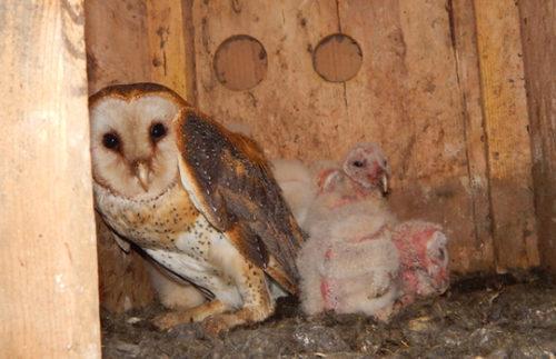 Barn owl nest cam