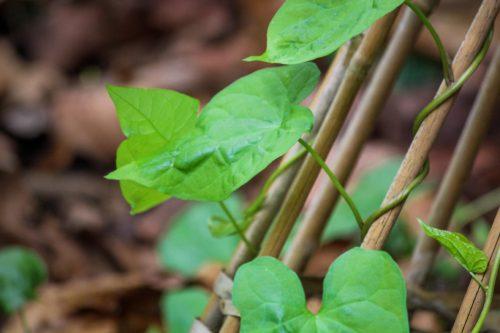 leafy vine plant
