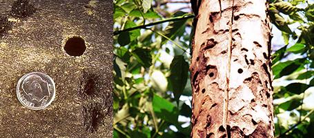 Asian Longhorned Beetle Tree Damage