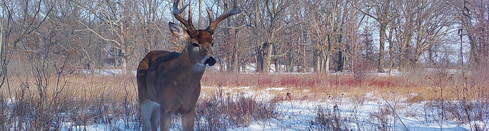 Buck in snow, integrated deer management project