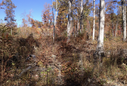 manage woods for white-tailed deer cover