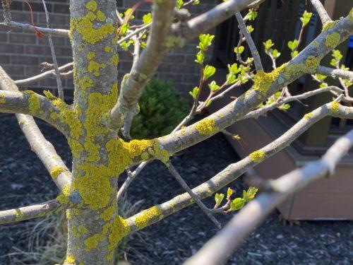 lichens on tree