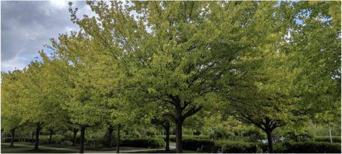 Iron_Clorosis_of_Trees