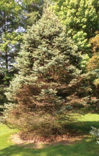 blue spruce needle cast