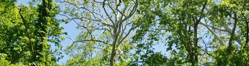 American Sycamore Banner