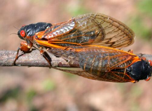 cicadaSideDorsal