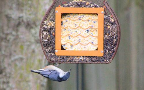 Blue jay on bird feeder.