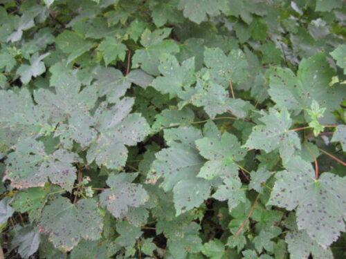 Tar Spot Example Photo
