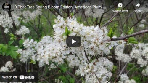 ID That Tree American Plum Thumbnail