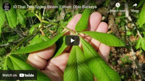 ID That Tree Ohio Buckeye Thumbnail