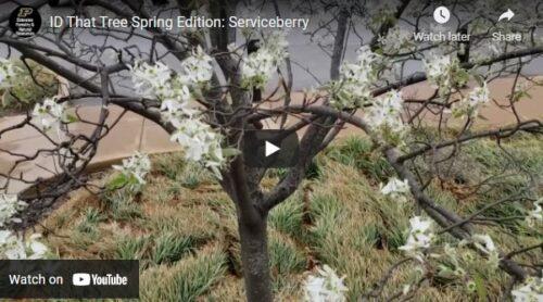 ID That Tree Serviceberry Thumbnail